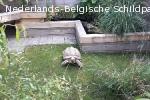 Sulcata sporenschildpad